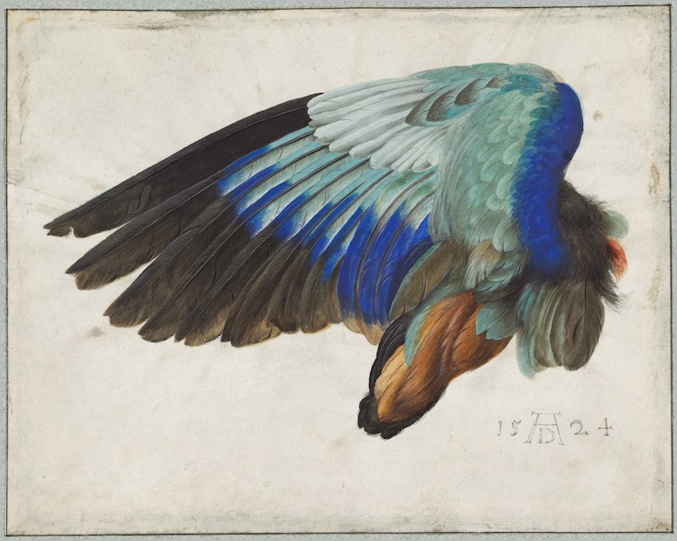 Left Wing Of A Blue Roller Circa  Courtesy National Gallery Of Art