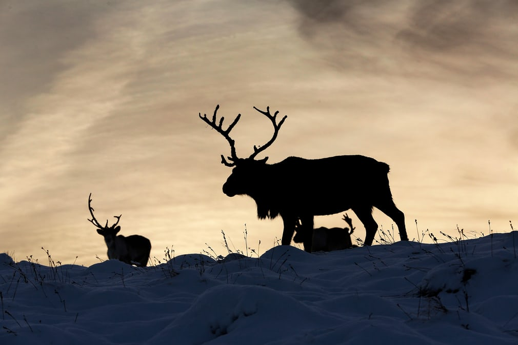 Britain's Only Free-Roaming Reindeer Herd – In Pictures